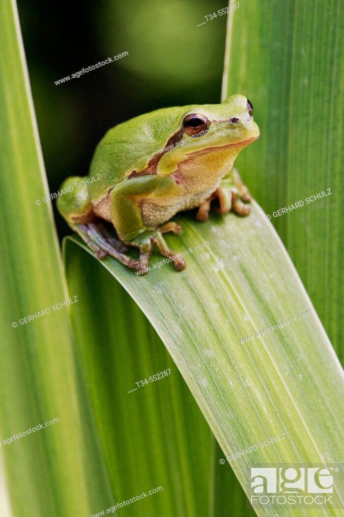 Stock Photo: Common Tree Frog (Hyla arborea). Isle of Ruegen. Mecklenburg Western Pomerania, Germany.