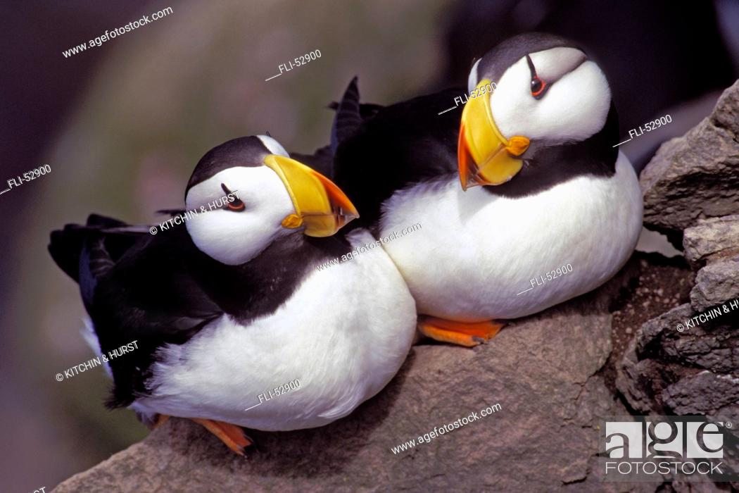 Stock Photo: T.Kitchin, 21323D, Horned Puffins, Fratercula Corniculata, Pacific Coast IN USAGE FOLDER JAN.16,2001.