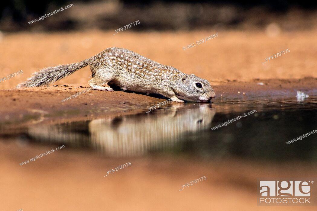 Stock Photo: Mexican Ground Squirrel (Spermophilus mexicanus) drinking at waterhole - Santa Clara Ranch, McCook, Texas, USA.