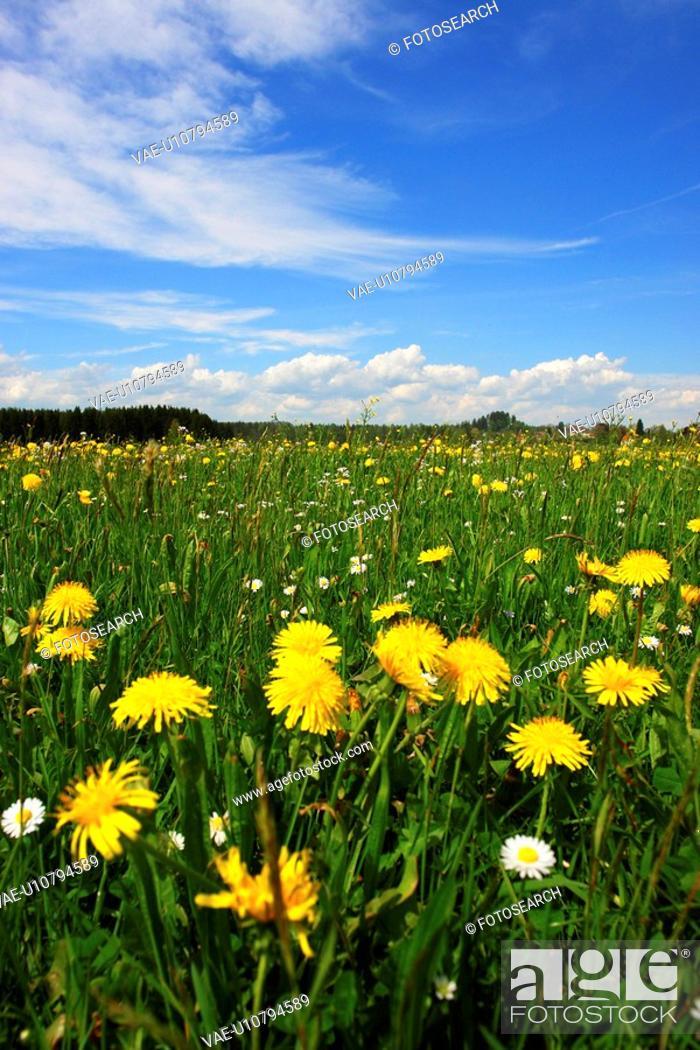 Stock Photo: dandelion, farmland, aue, outside, flower, flowers, crowfoot.