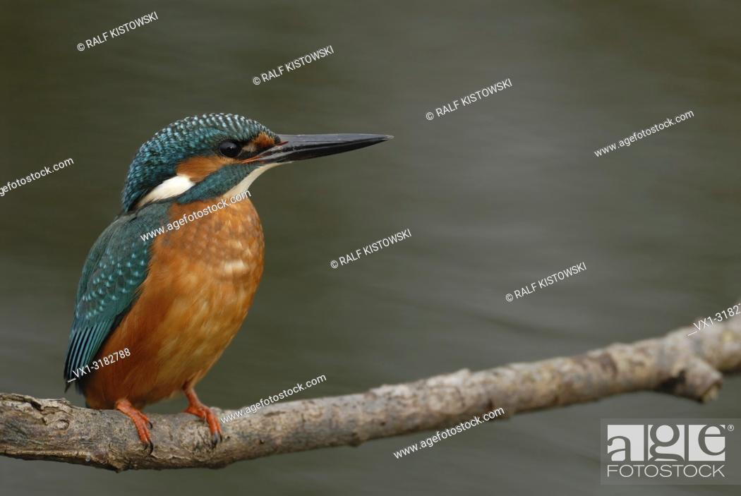 Stock Photo: Male Common Kingfisher / Kingfisher (Alcedo atthis) sits in typical position on a branch above flowing water.