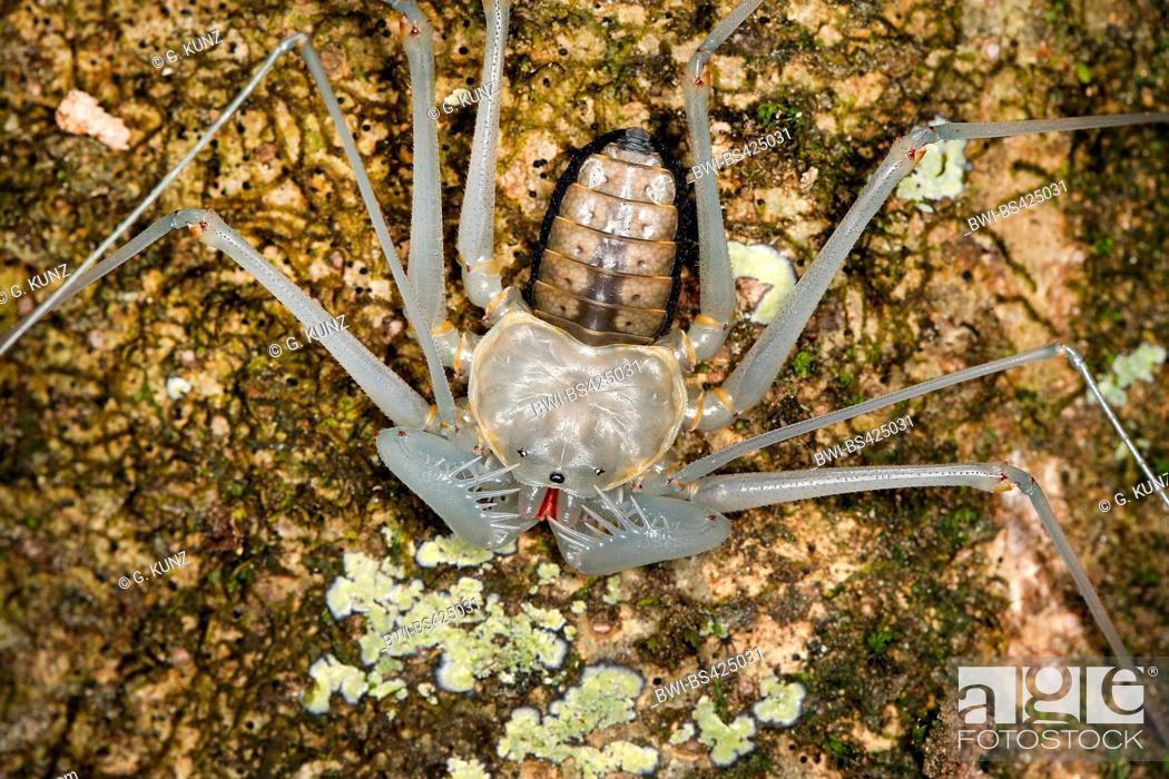 Stock Photo: tailless whipscorpion (Paraphrynus spec.), juvenile, Costa Rica.
