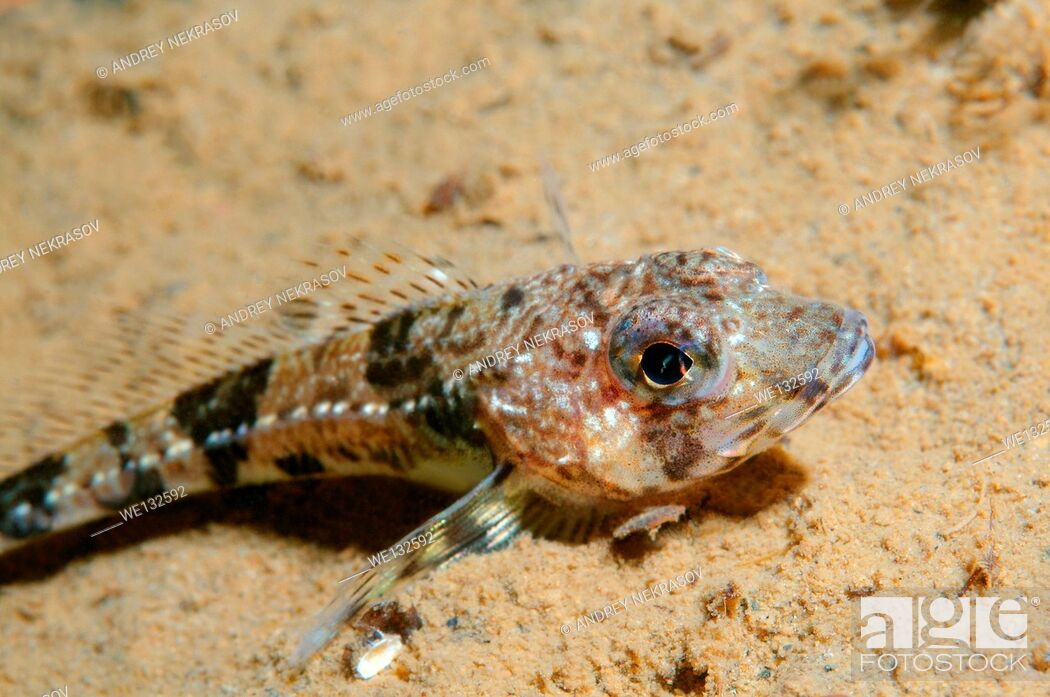 Stock Photo: Shorthorn sculpin, short-spined sea scorpion, bull-head, bull-rout or father-lasher (Myoxocephalus scorpius) White sea, Karelia, Arctic, Russian Federation.