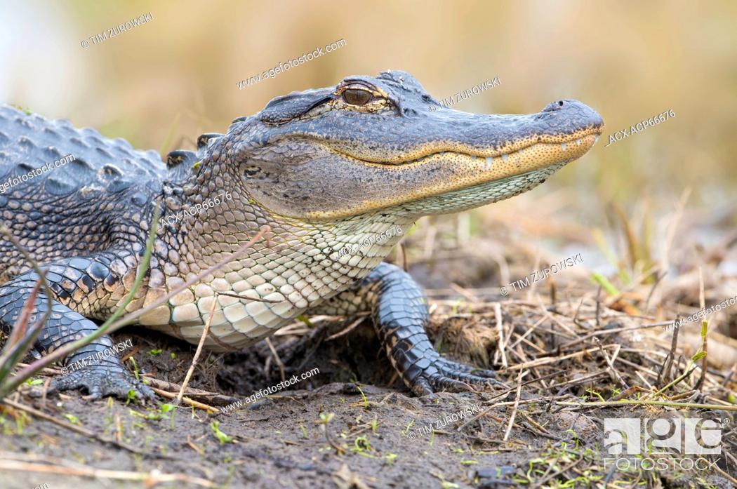 Stock Photo: American Alligator (Alligator mississippiensis) - Florida.