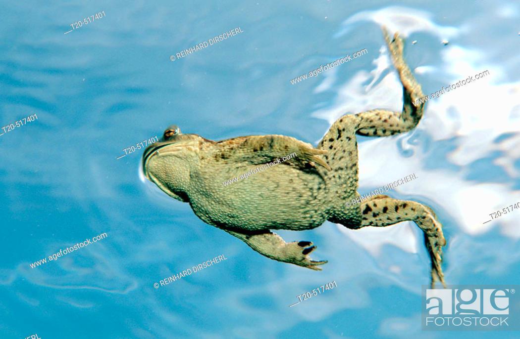 Stock Photo: Toad, Bufo bufo. Bavaria. Germany.