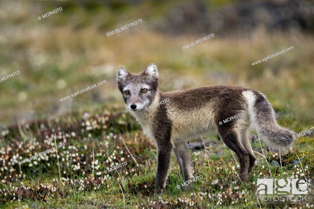 Stock Photo: arctic fox, polar fox Alopex lagopus, Vulpes lagopus, in arctic summer, Norway.