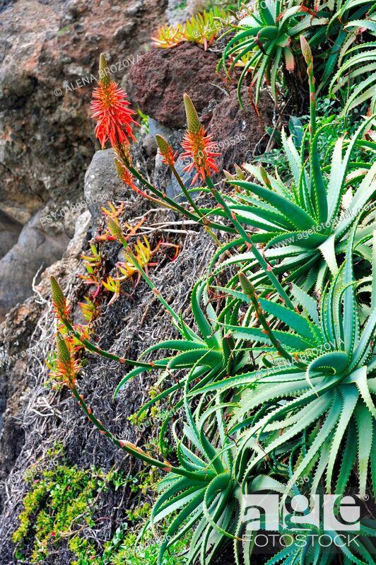 Stock Photo: Aloe Vera flowering - healing plant - detail.