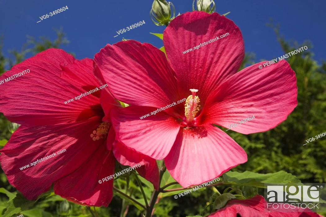 Stock Photo: Close-up of crimson Hibiscus 'Moy Grande' flowers in summer.
