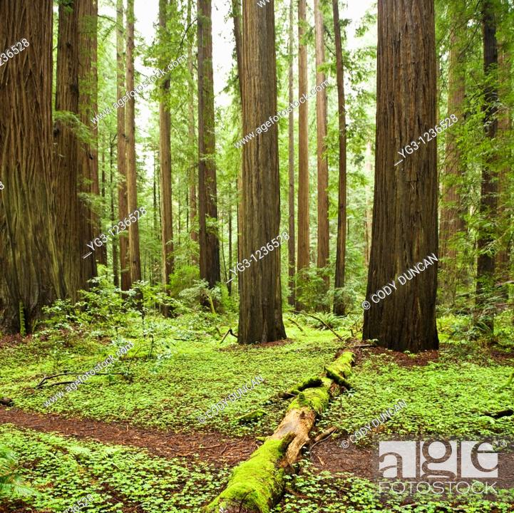 Stock Photo: Trail through forest, Humbolt Redwoods state park, California.