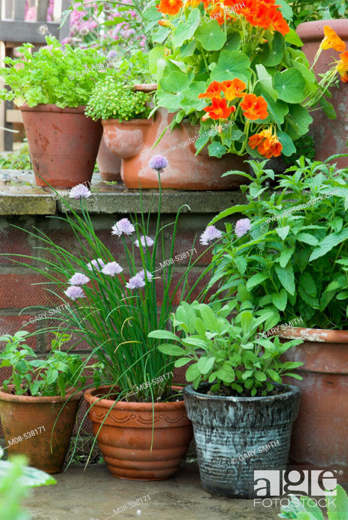 Stock Photo: Herbs in pots on garden patio in summer, including mint parsley, nasturtiums parsley and sage.
