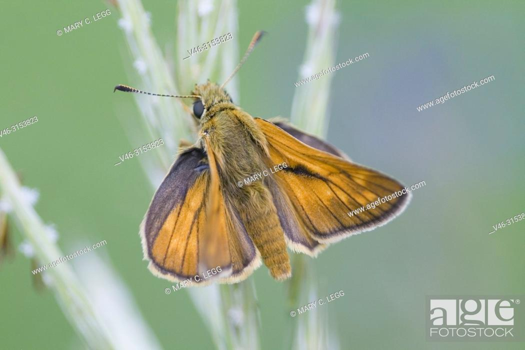 Stock Photo: Lulworth Skipper, Thymelicus acteon.