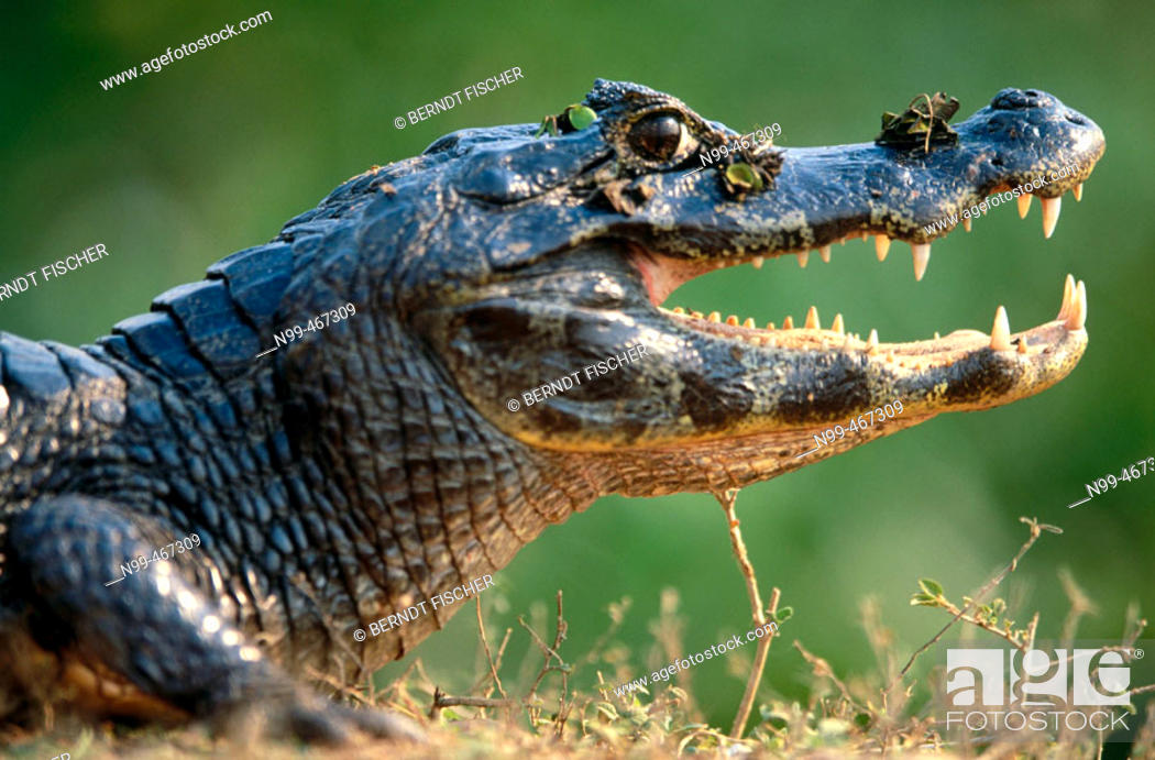 Stock Photo: Caiman (Caiman crocodilus) sunbathing on the bank of a water pond, open mouth. Near Pocone. Pantanal. Mato Grosso. Brazil.