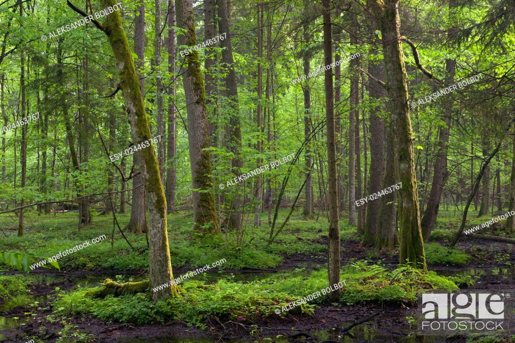 Stock Photo: Springtime sunrise in wet deciduous stand of Bialowieza Forest with standing water, Bialowieza Forest, Poland, Europe.