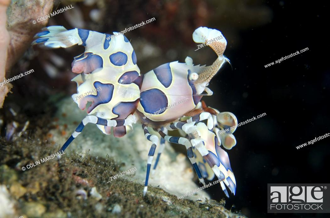 Stock Photo: Harlequin Shrimp (Hymenocera elegans), Melasti dive site, Seraya, near Tulamben, Bali, Indonesia.
