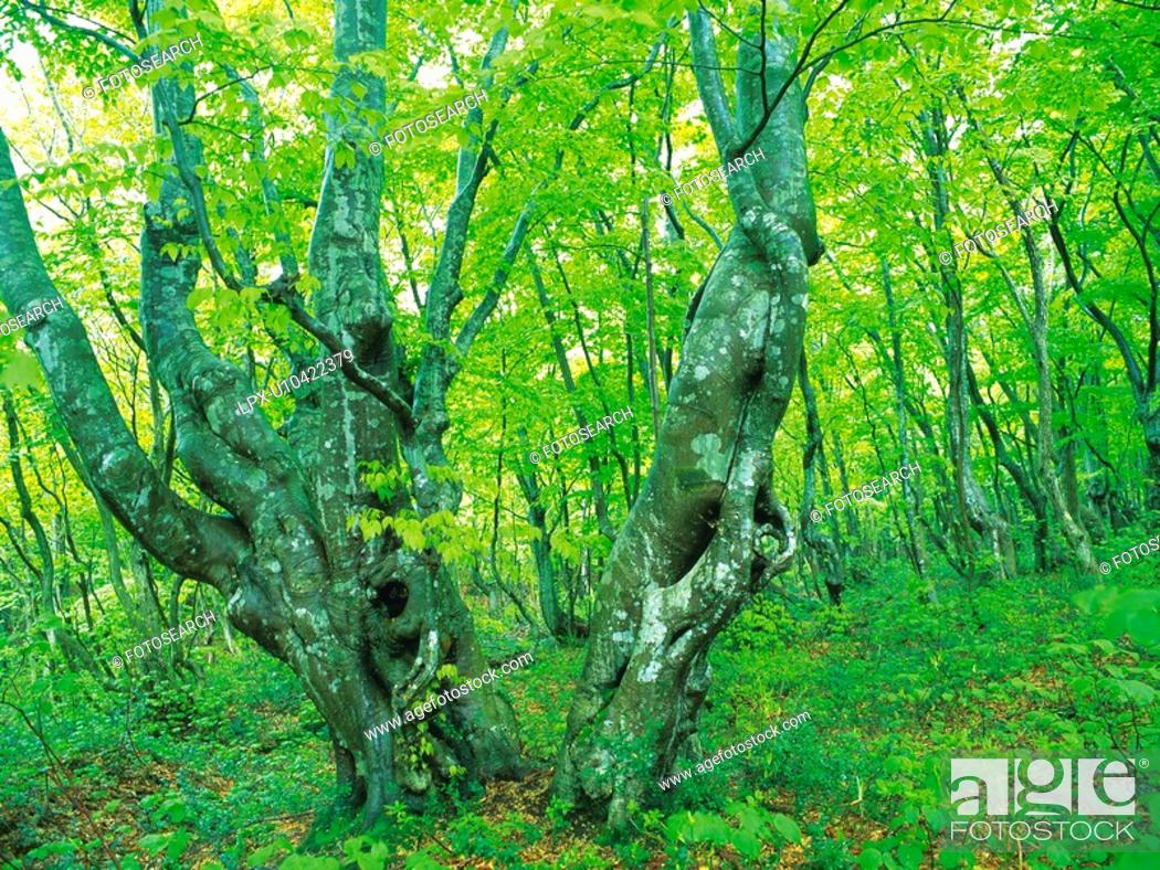Stock Photo: Trees in the Woods, Front View, Pan Focus.