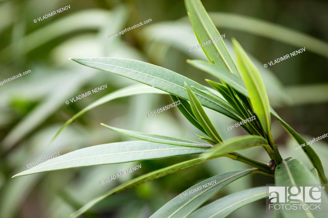 Stock Photo: Nerium oleander is a shrub or small tree in the dogbane family Apocynaceae, toxic in all its parts.