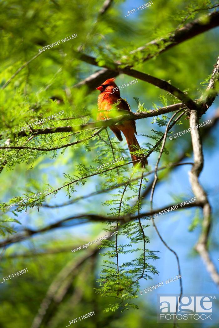 Stock Photo: North Carolina's sate bird, the Red Cardinal Cardinalis cardinalis.