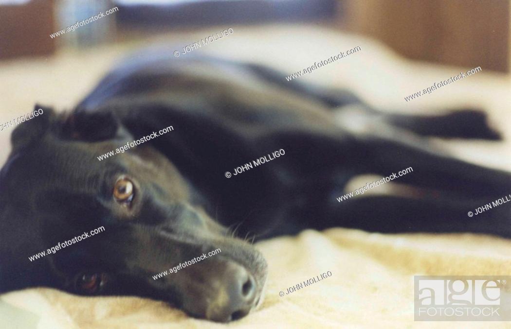 Stock Photo: Black labrador retriever, lying on bed.