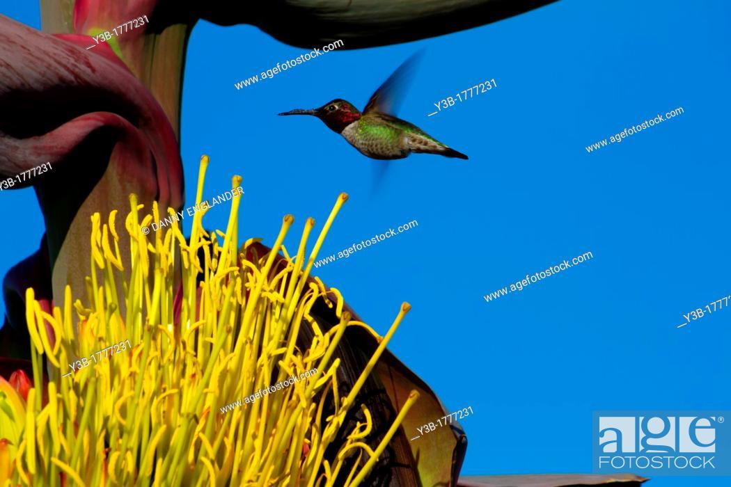 Stock Photo: Hummingbird hovering near an Agave Flower.