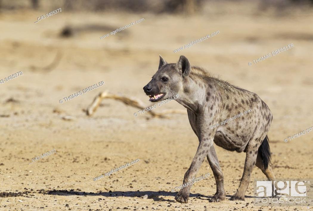 Stock Photo: Spotted Hyaena (Crocuta crocuta). Walking towards a waterhole. Kalahari Desert, Kgalagadi Transfrontier Park, South Africa.
