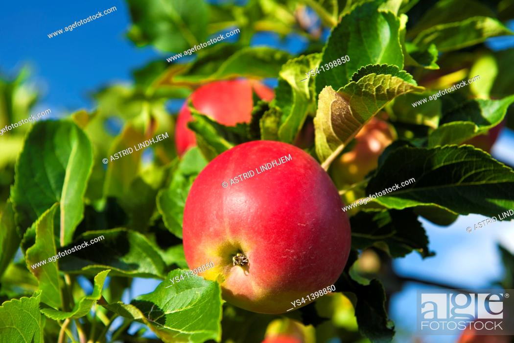 Stock Photo: Red apple on three.