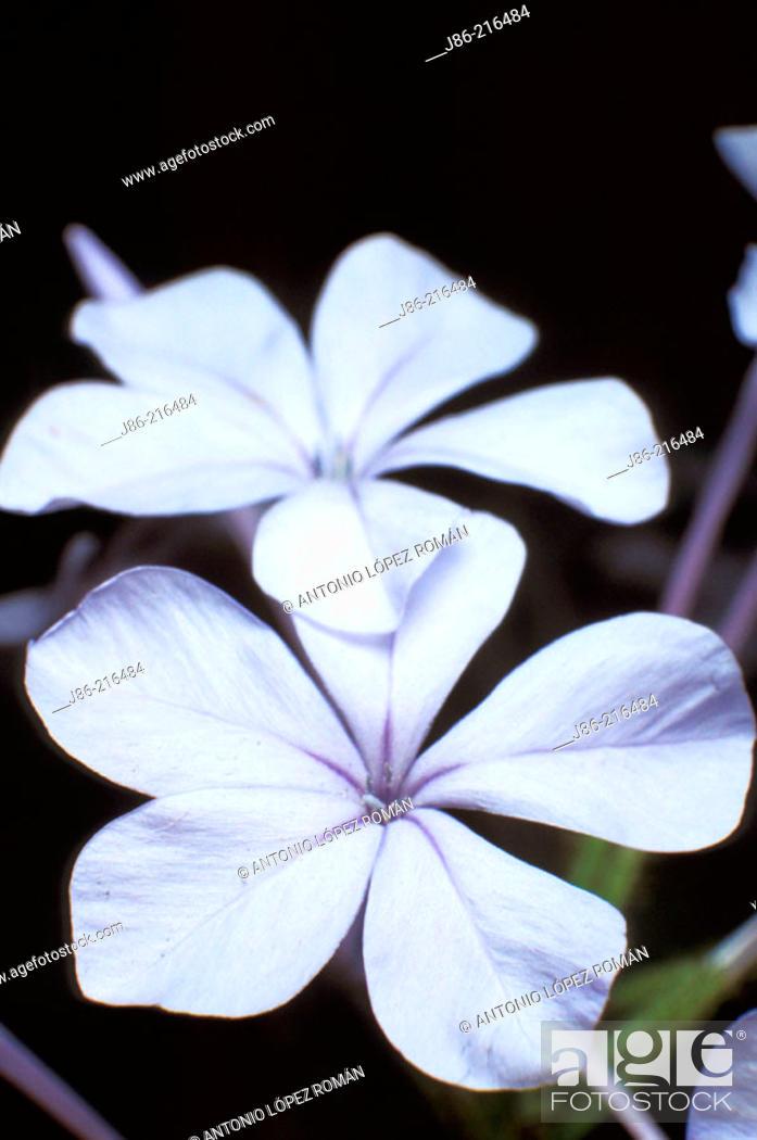 Stock Photo: Skyflower (Plumbago auriculata).