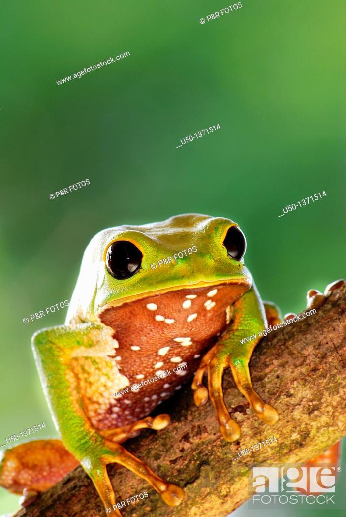 Stock Photo: Phyllomedusa sp , Hylidae, Anura, Rio Branco, Acre, Brazil, 2009  12 cm lenght.