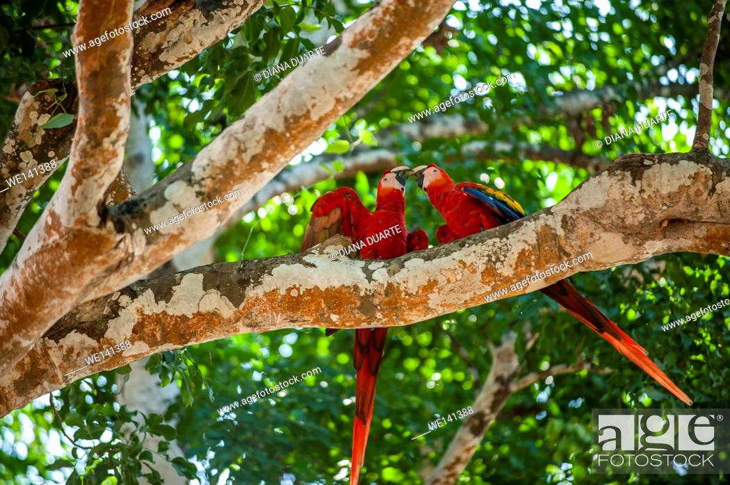 Stock Photo: ' Scarlet macaw', (Ara macao), This brilliantly colored, medium-sized macaw is the only macaw found on the Pacific side of Costa Rica.