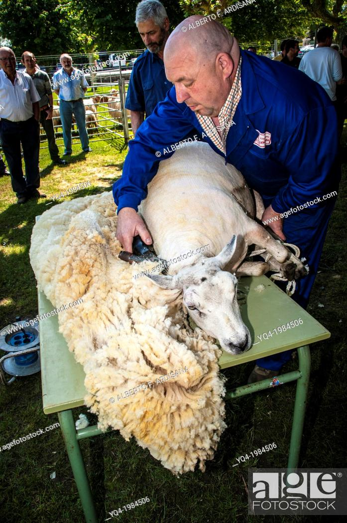 Stock Photo: Man shearing a sheep by machine. Colombres, Asturias, Spain.