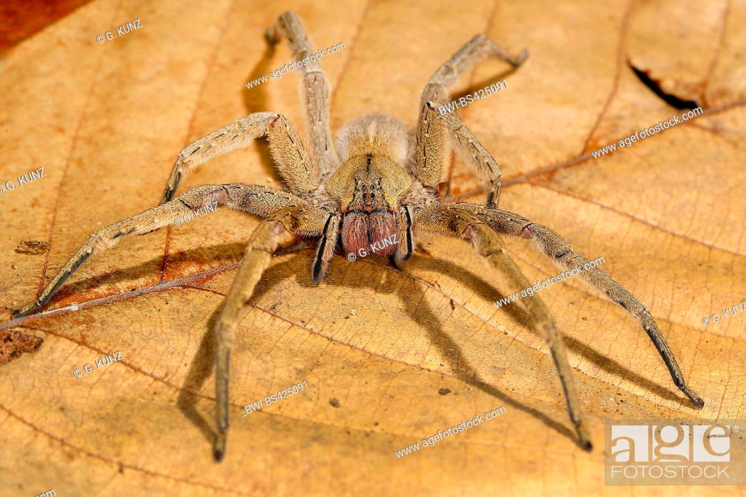 Stock Photo: Brazilian Wandering Spider (Phoneutria boliviensis), sits on a withered leaf, Costa Rica.
