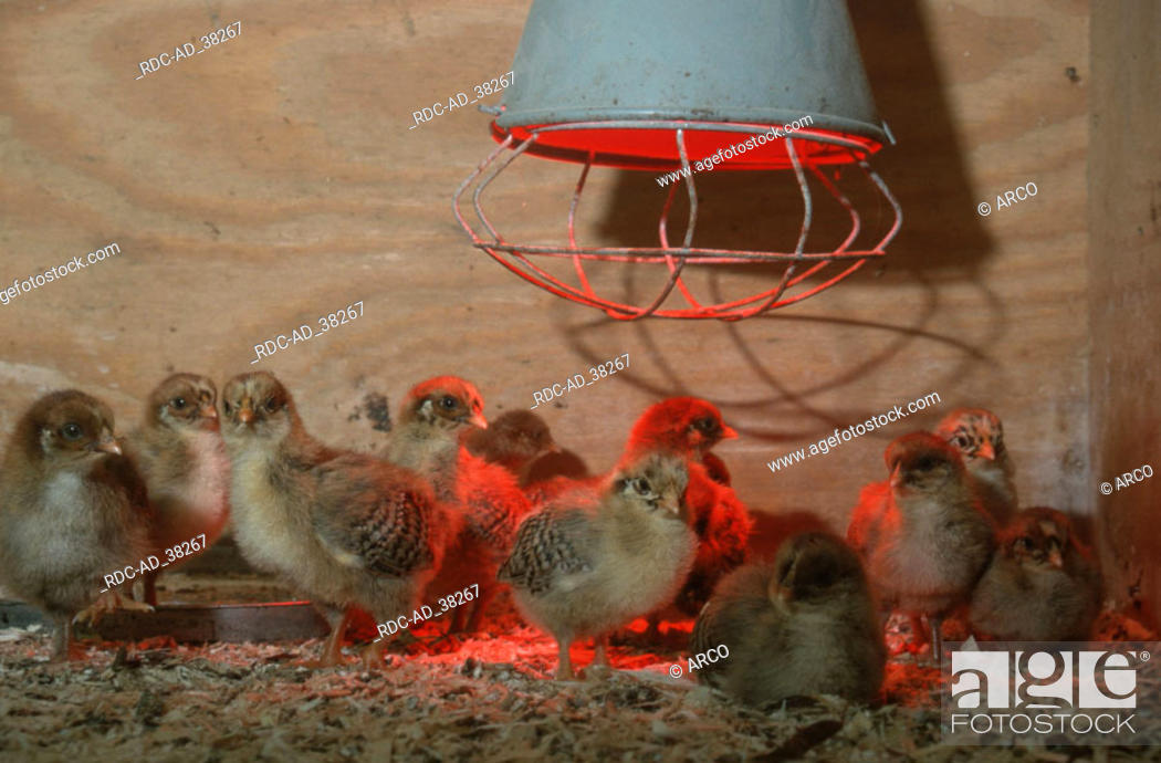 Stock Photo: Domestic Fowl chicks under infrared lamp.