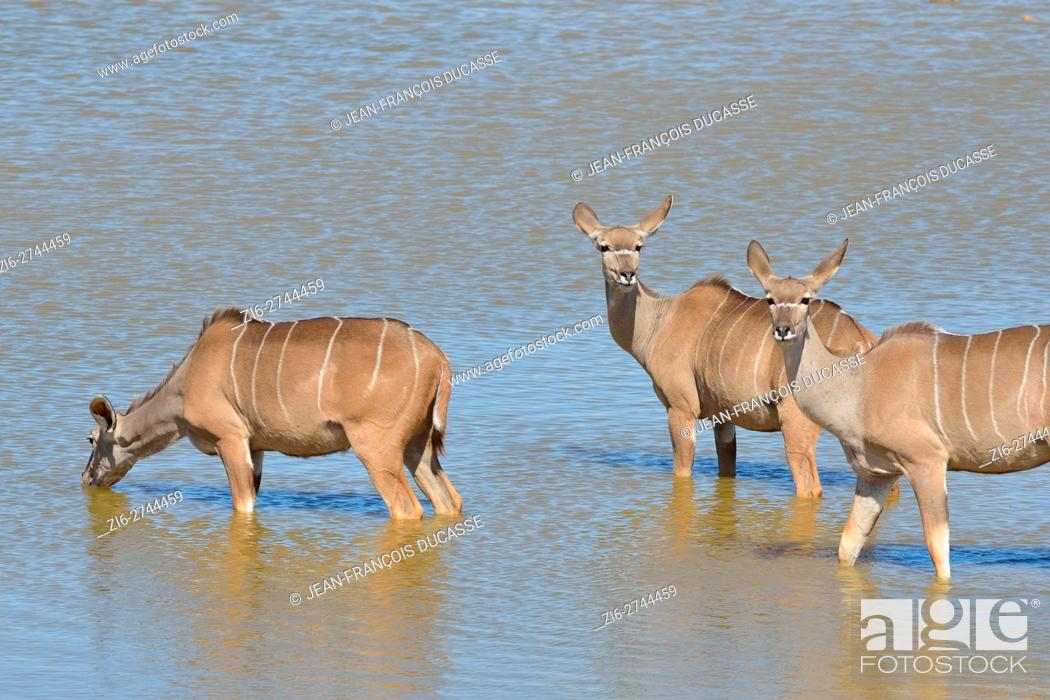 Stock Photo: Greater kudus (Tragelaphus strepsiceros), at a waterhole, Etosha National Park, Namibia, Africa.