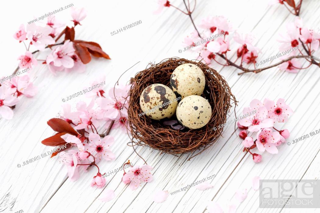 Stock Photo: Nest with three eggs (Common Quail) next to a flowering cherry twigs on white planks. Switzerland.