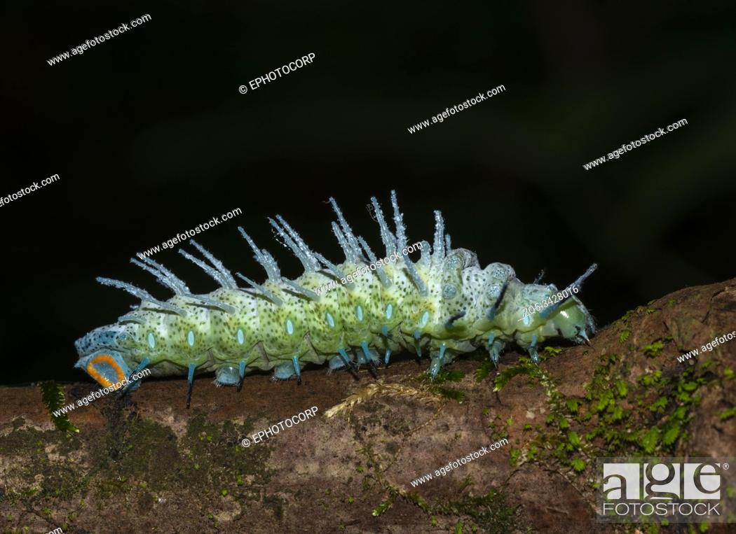 Stock Photo: Atlas Moth Caterpillar, Goa, india.