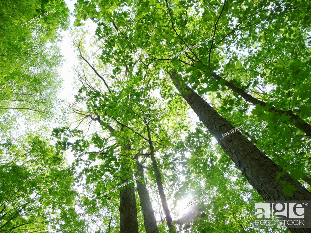 Stock Photo: looking upward into tall trees in spring leaf, sun showing through near bottom, Monroe County, Indiana.