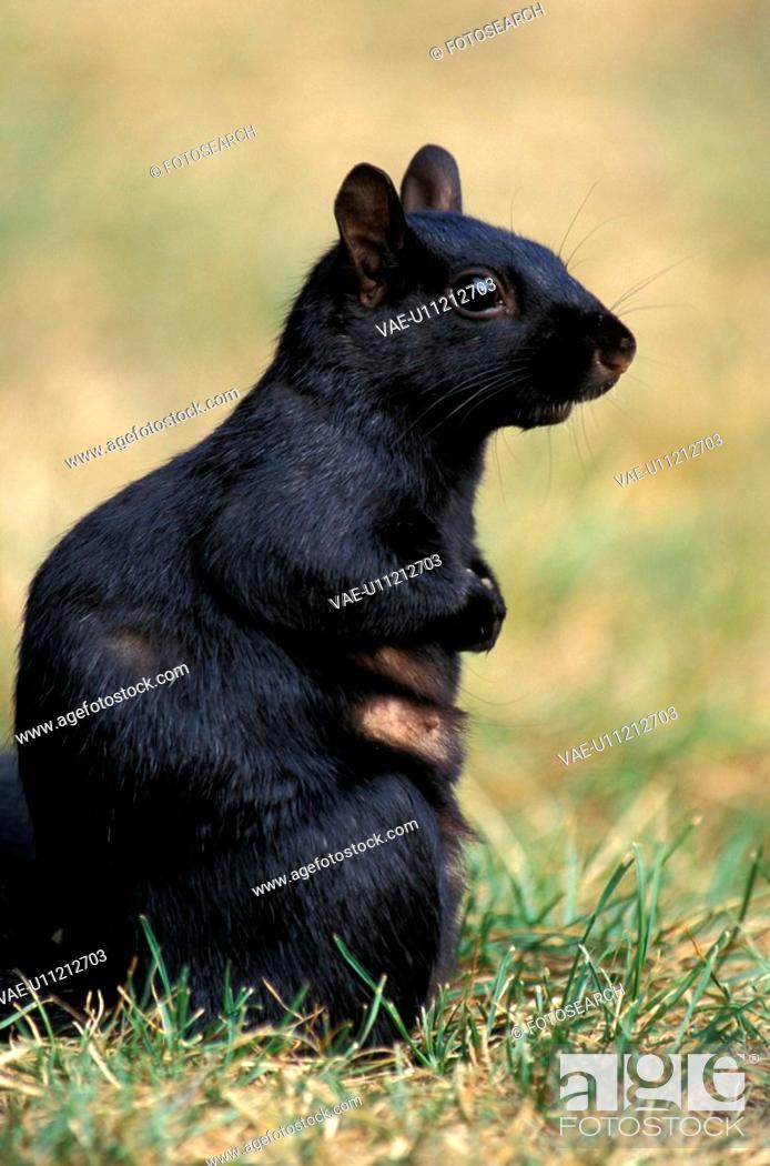 Stock Photo: hoernchen, animals, black.