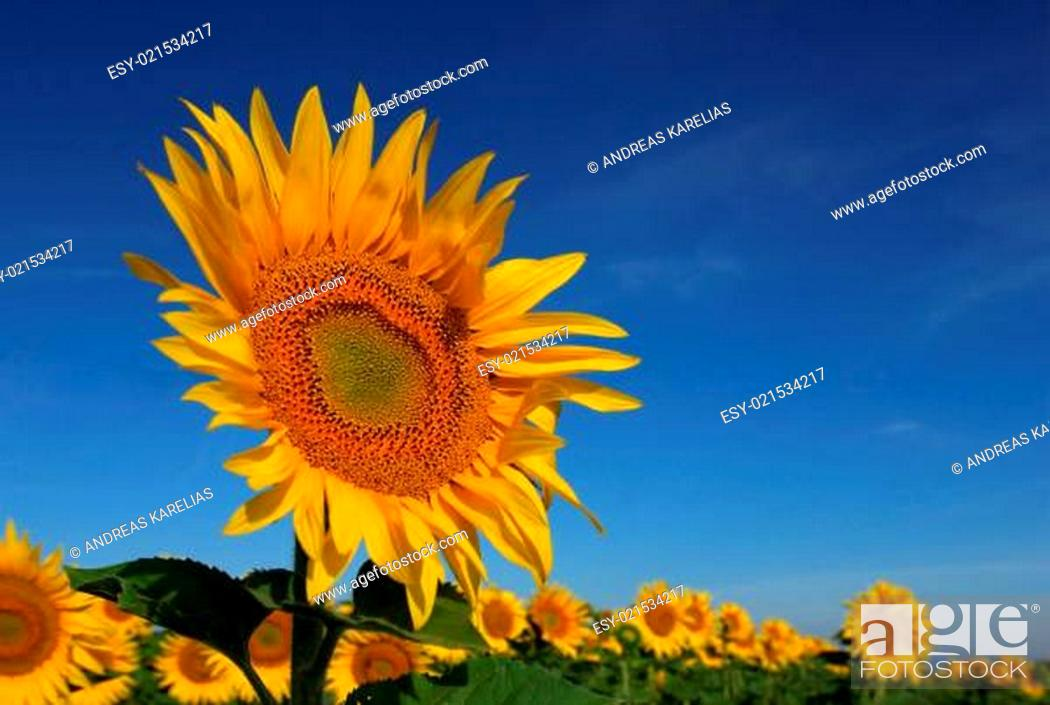 Stock Photo: Wild sunflower.