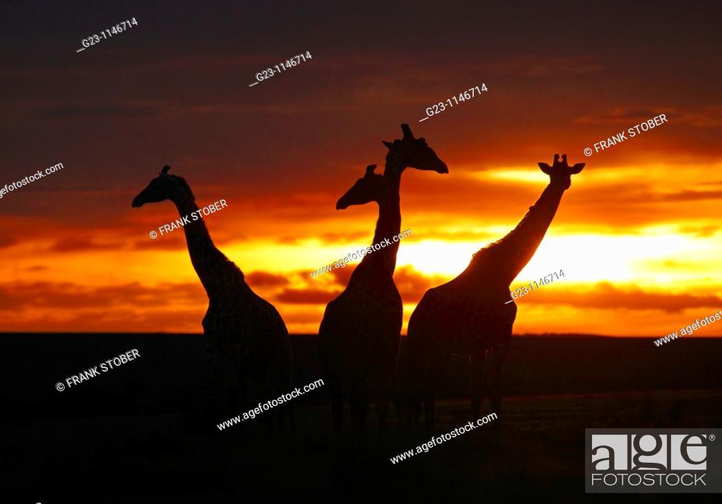 Stock Photo: Sunset with giraffes, Masai Mara, Kenya.