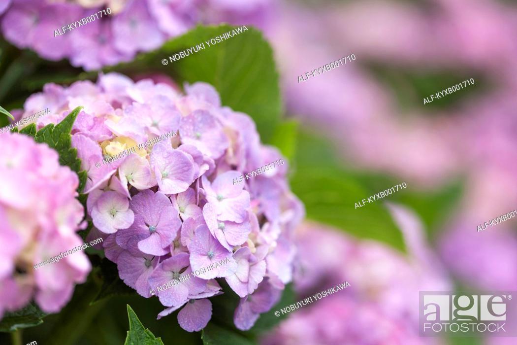 Photo de stock: Hydrangea.