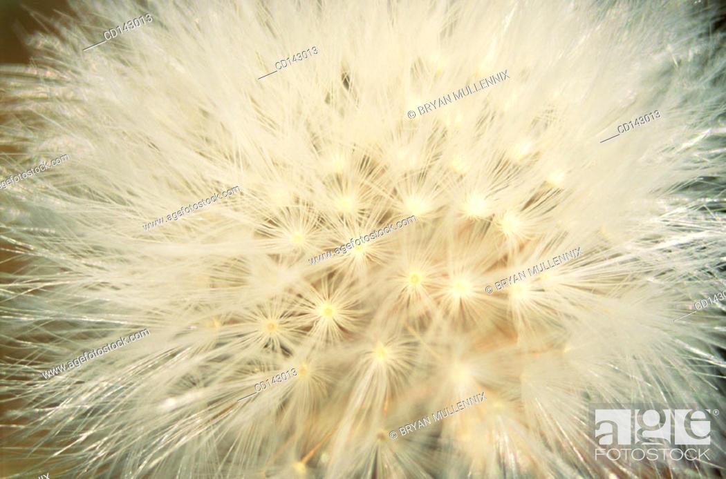 Stock Photo: Dandelion (Taraxacum officinale).