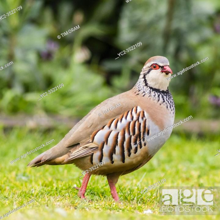 Stock Photo: A Red-legged or French Partridge (Alectoris rufa) in the Uk.