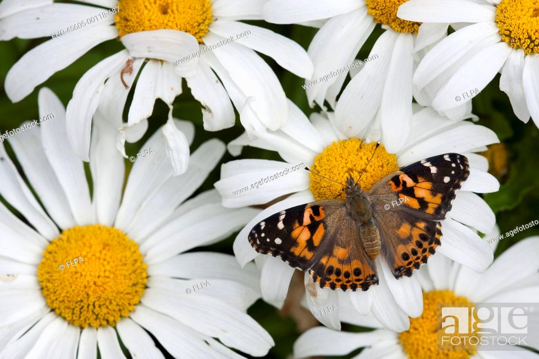 Stock Photo: Painted Lady Vanessa cardui adult, feeding on daisy flowers in garden, England, august.