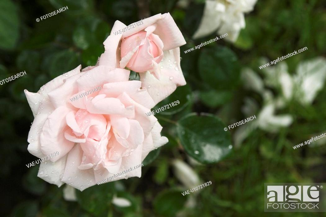 Stock Photo: Beauty, Blossom, Blooming, Colorful, Cultivated.