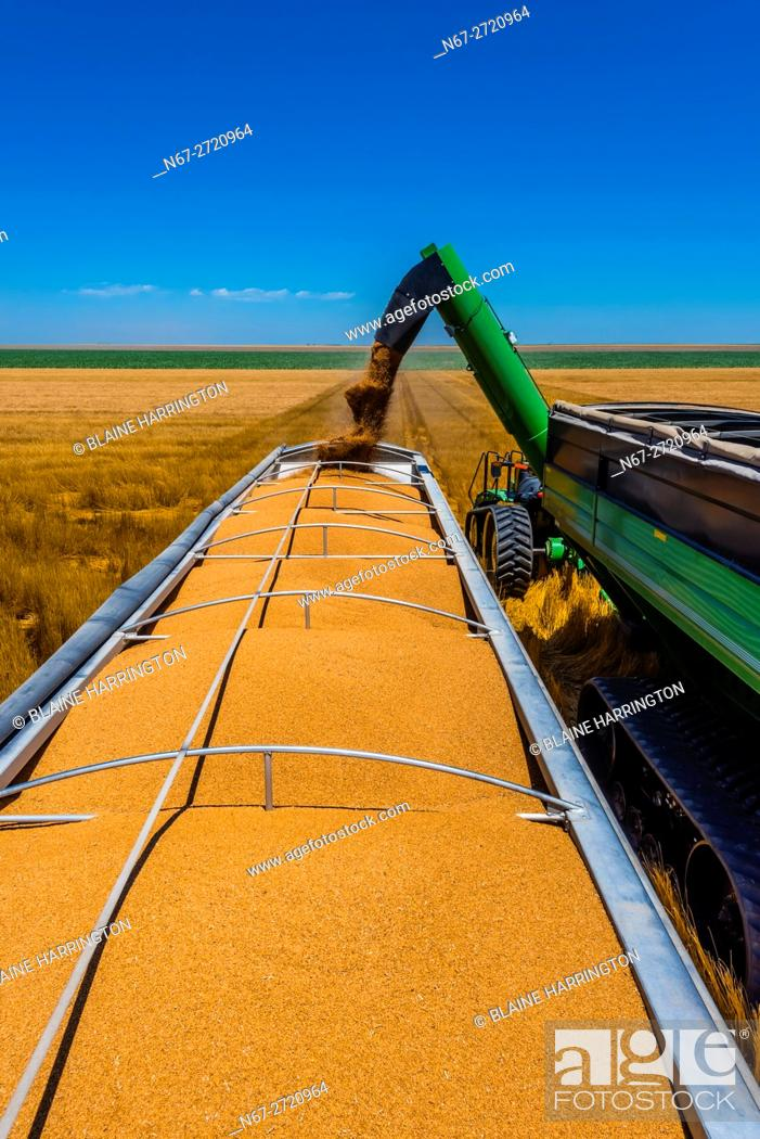 Stock Photo: Grain being unloaded from a grain wagon to a grain trailer during the wheat harvest, Schields & Sons, Goodland, Kansas USA.