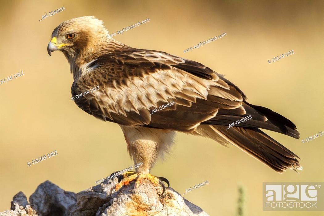 Stock Photo: Booted Eagle (Hieraaetus pennatus) in Ávila (Spain).