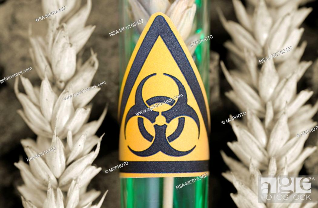 Test tube with a biohazard symbol and wheat, genetically