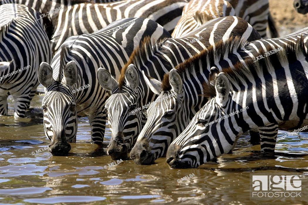 Stock Photo: Grant zebras. Equus quagga boehmi. Serengeti National Park. Tanzania. Africa.