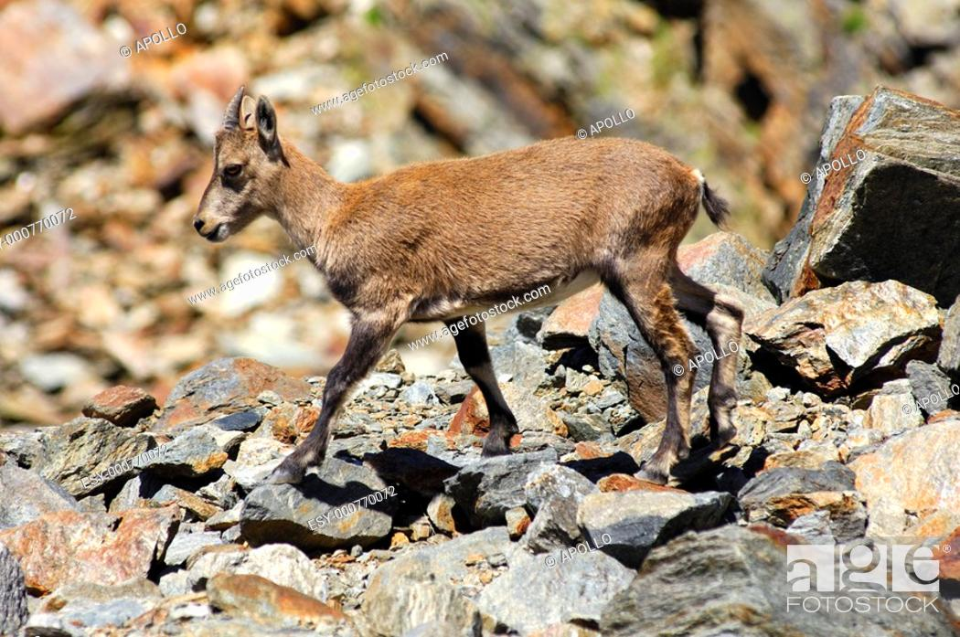 Stock Photo: Young Alpine ibex Capra ibex standing in a scree-field, Alps savoie, Haute-Savoie, France.