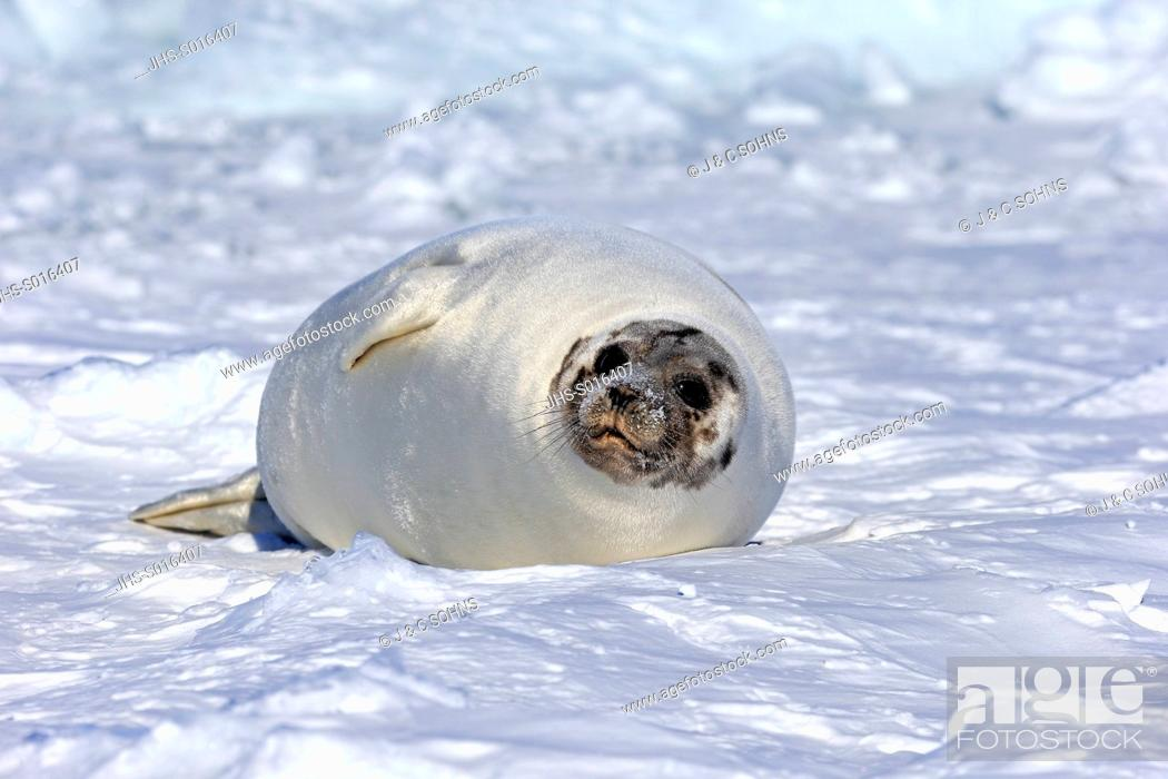 Stock Photo: Harp Seal, Saddleback Seal, (Pagophilus groenlandicus), Phoca groenlandica, adult female on pack ice, Magdalen Islands, Gulf of St.