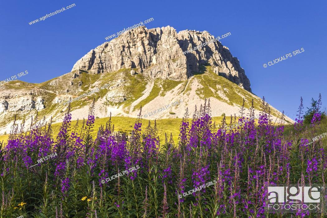 Imagen: Blooming Willowherb flowers (Epilobium) frame Castellazzo mount, Rolle Pass, Dolomites, Trento province, Trentino Alto Adige, Italy, Europe.